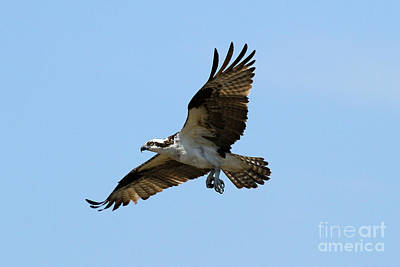 Photograph - Osprey 4 by Butch Lombardi