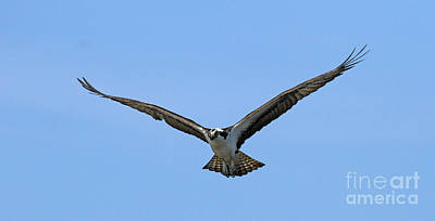Photograph - Osprey 6 by Butch Lombardi