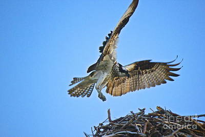 Photograph - Osprey by Amazing Jules