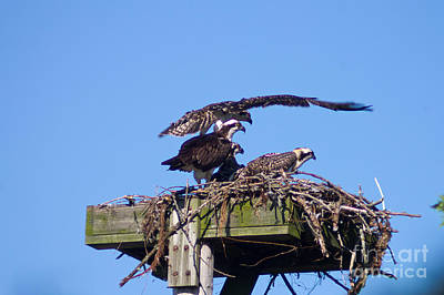Photograph - Osprey And Chicks by Deb Kline