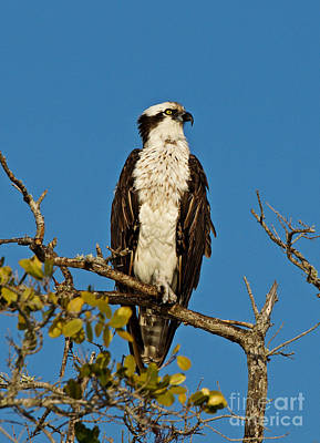 Photograph - Osprey At Boca Grand 3 by Carmen Del Valle