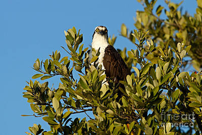 Photograph - Osprey At Boca Grand 4 by Carmen Del Valle