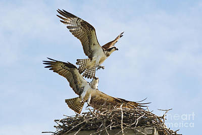 Photograph - Osprey Battle For The Nest by Andrea Kollo