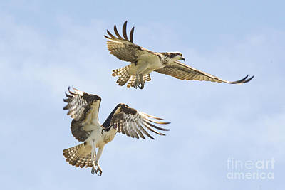 Photograph - Osprey Battle Of The Nest No. 2 by Andrea Kollo