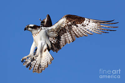 Photograph - Osprey by Bill Singleton