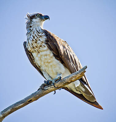 Photograph - Osprey by Brad Grove