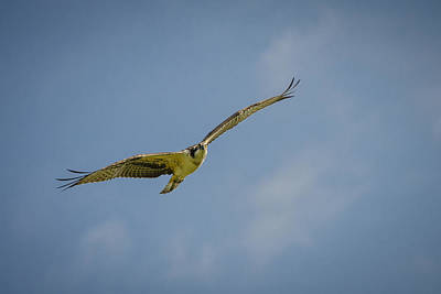 Photograph - Osprey by Bradley Clay