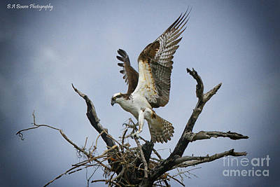 Photograph - Osprey Building A New Nest by Barbara Bowen