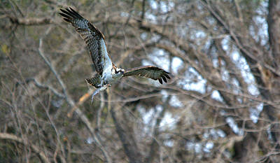 Osprey Catches Early Dinner Art Print by Roy Williams