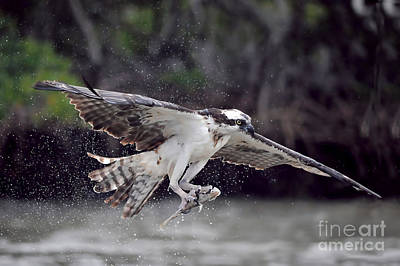 Photograph - Osprey Catching Fish by Dan Friend