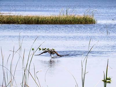 Birds Photograph - Osprey Caught A Fish by Zina Stromberg