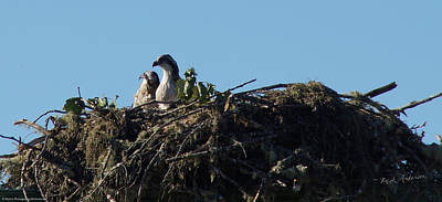 Photograph - Osprey Chicks In Nest by Mick Anderson