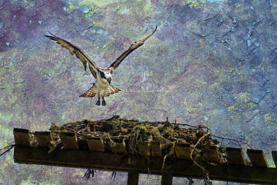 Photograph - Osprey-coming Home by Belinda Greb