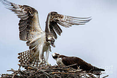 Photograph - Osprey Coming In For  A Landing by Deborah Scannell