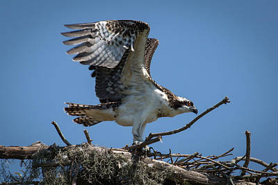 Photograph - Osprey Departing Nest by Gregory Daley  PPSA