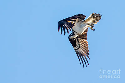 Photograph - Osprey Diving by Robert Bales