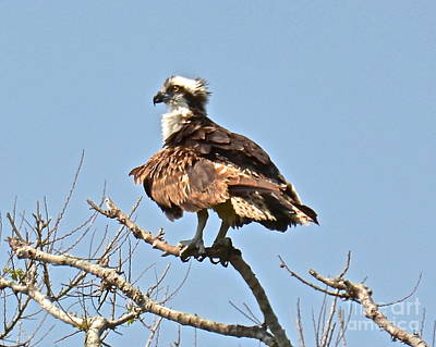 Photograph - Osprey by Carol  Bradley