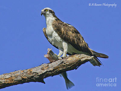 Photograph - Osprey Eating by Barbara Bowen
