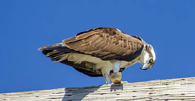 Osprey Eating Lunch Art Print by Dale Powell
