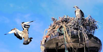 Photograph - Osprey Family by David Rich