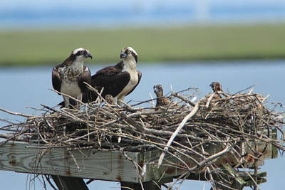 Photograph - Osprey Family by Diane Rada