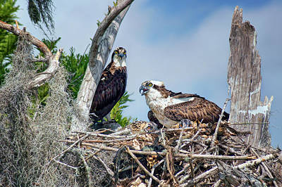 Treasure Coast Photograph - Osprey Family by Nikolyn McDonald