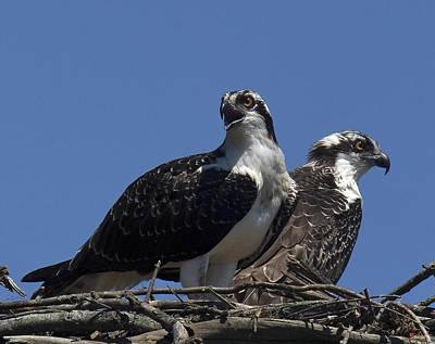 Photograph - Osprey Fledglings Drb052 by Gerry Gantt