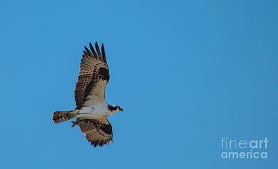 Photograph - Osprey Flying Home With Dinner by Robert Bales