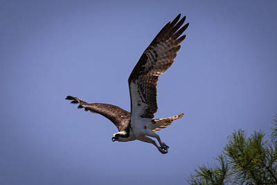 Photograph - Osprey Flying With Full Wingspan by Gregory Daley  PPSA