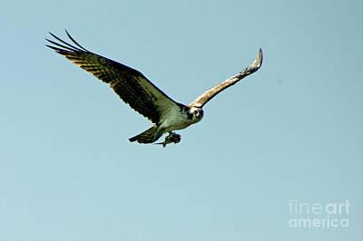 Photograph - Osprey Found Its Prey by Greg Graham
