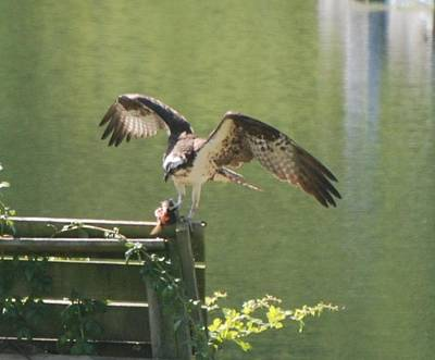 Photograph - Osprey Gets The Bass by Amy Porter