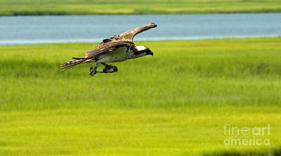 Photograph - Osprey Gliding Into Home Base by Greg Graham