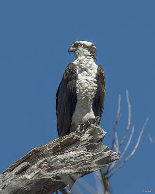 Photograph - Osprey Guarding The Nest Drb191 by Gerry Gantt