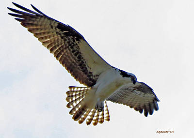 Photograph - Osprey Hovers by T Guy Spencer
