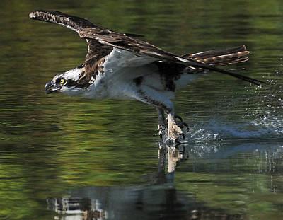Osprey Hunter Art Print by Kenneth Haley