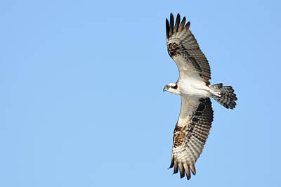 Photograph - Osprey In Flight by Bradford Martin