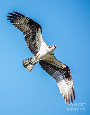 Photograph - Osprey In Flight by Cheryl Baxter