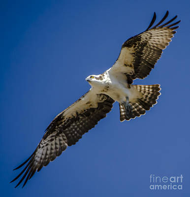 Osprey In Flight Art Print by Dale Powell