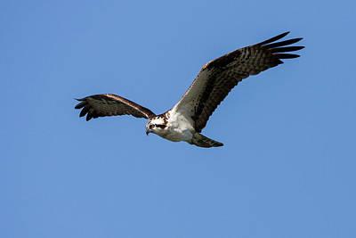 Photograph - Osprey In Flight by Jack Bell
