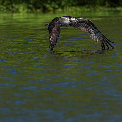 Accipitridae Photograph - Osprey In-flight, Pandion Haliaetus by Maresa Pryor