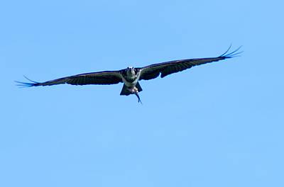 Photograph - Osprey In Flight by Steve Atkinson