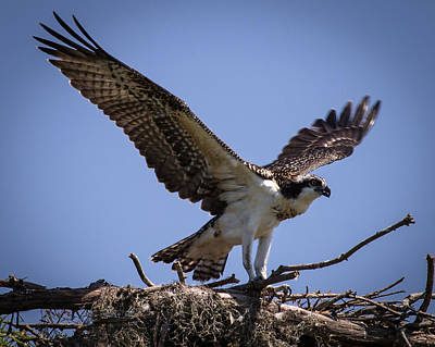 Photograph - Osprey In Nest Ready To Fly by Gregory Daley  PPSA