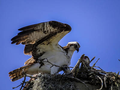 Osprey Photograph - Osprey In The Nest by Zina Stromberg