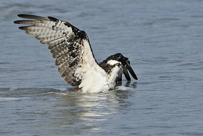 Photograph - Osprey In Water by Bradford Martin