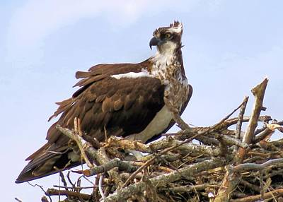 Photograph - Osprey by Janice Drew