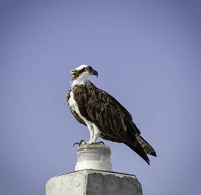 Florida Wildlife Photograph - Osprey by Kim Hojnacki