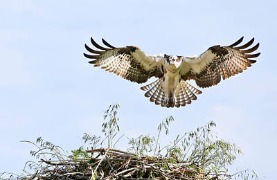 Photograph - Osprey Landing Gear by Athena Mckinzie