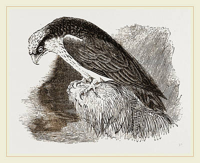 Osprey Art Print by Litz Collection