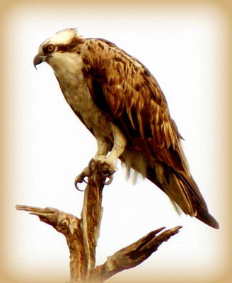 Photograph - Osprey Lookout  by Sheri McLeroy