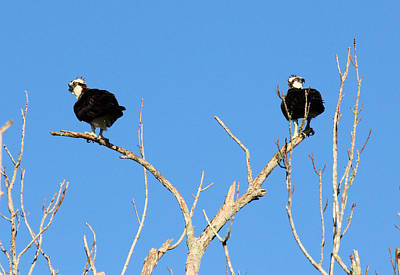 Photograph - Osprey Lovers Spat by Suzie Banks